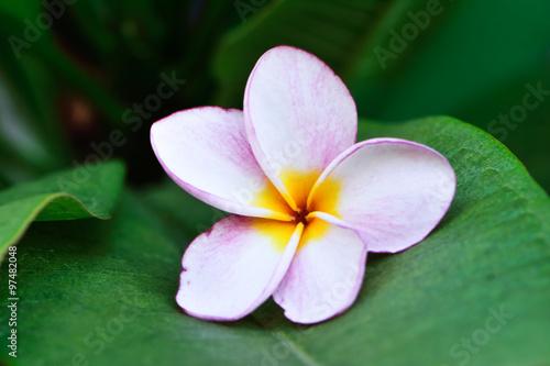plumeria flower fall down on their leaf