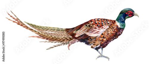 Obraz na płótnie Watercolor pheasant.
