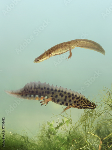 Fotomural Breeding of Smooth Newt