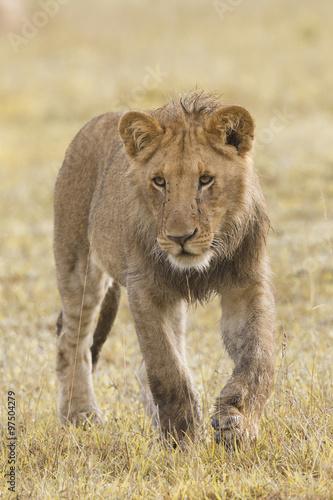 Poster Lion African lion cub