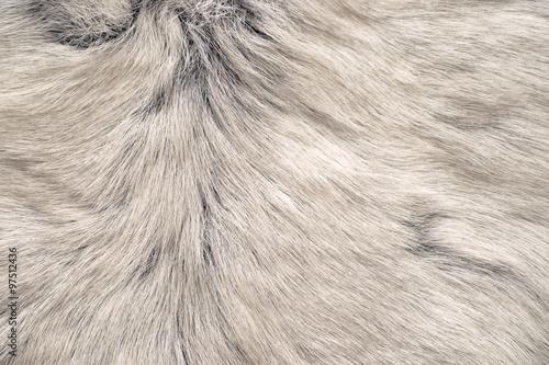Foto White reindeer fur texture