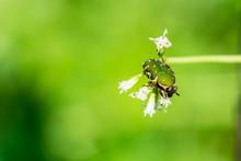 Green Shield Bug On White Flower