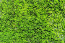 Natural Green Moss Texture On ...