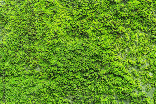 Fotografie, Obraz  Natural green moss texture on the wall for beautiful background and copy space
