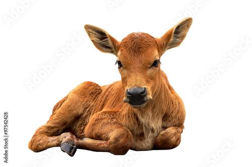 Foto A calf on the road