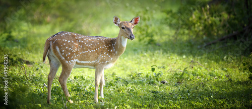 Cadres-photo bureau Cerf Wild Spotted deer