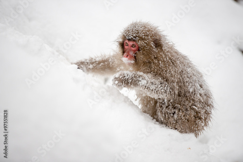 Fotografie, Obraz  Monkey in a natural onsen (hot spring), located in Snow Monkey, Nagono Japan