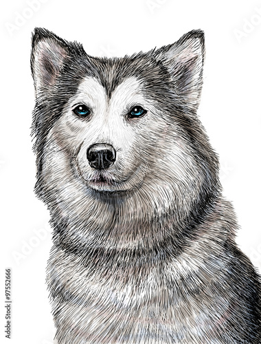 siberian husky dog hand draw and paint illustration on white
