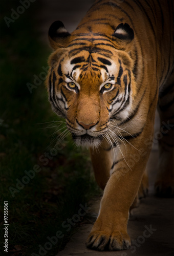 Keuken foto achterwand Panter Sumatran Tiger close-up.