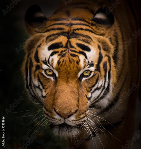 Foto auf AluDibond Tiger Sumatran Tiger close-up.
