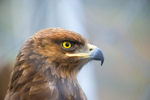Birds Of Prey - Captive Aquila Pomarina - Lesser Spotted Eagle