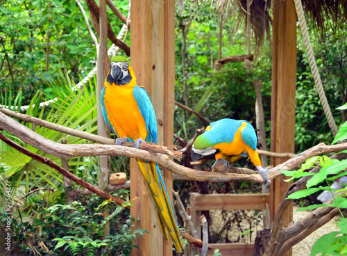 Fotografie, Obraz  Pair of colorful Parrots. Jamaica