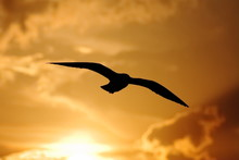 The Silhouette Of The Flying Seagull At Sunset