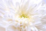 white chrysanthemum as background