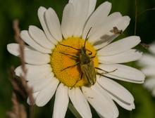 Flower Longhorn