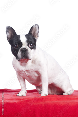 Deurstickers Franse bulldog Französische Bulldogge vor weißem Hintergrund sitzt auf roter Decke