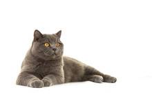 Grey British Shorthair Cat Lying Down Looking Away Isolated On A White Background