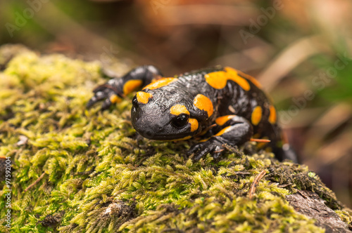 fototapeta na drzwi i meble a black yellow fire salamander