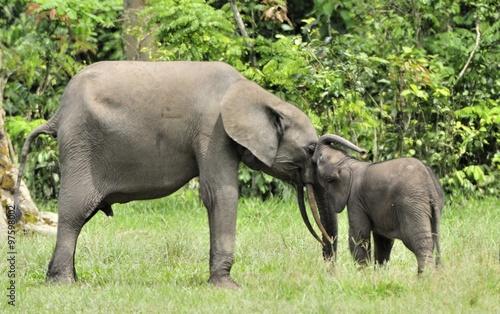 Photo  The elephant calf  with  elephant cow The African Forest Elephant, Loxodonta africana cyclotis