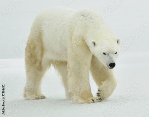 Poster Polar bear The adult male polar bear (Ursus maritimus) walking on snow.