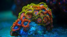 Colorful Coral In Coral Reef Aquarium