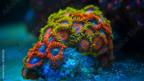 Poster Koraalriffen Colorful coral in coral reef aquarium