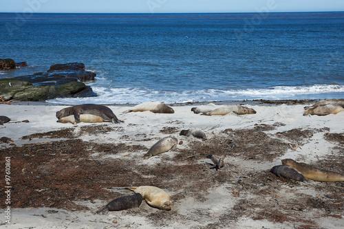 Spoed Foto op Canvas Noordzee Breeding group of Southern Elephant Seal (Mirounga leonina) on a beach during the breeding season on Sealion Island in the Falkland Islands.