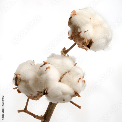 Fotobehang Planten branch of dried cotton plant flower isolated on white background