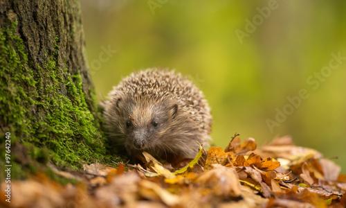 Photo A cute little wild hedgehog walking through golden autumn leaves