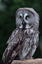 Great Grey Owl (Strix Nebulosa)/Great Grey Owl Perched On A Stone
