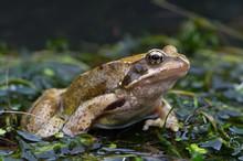 Frog (Rana Temporaria)/Common ...