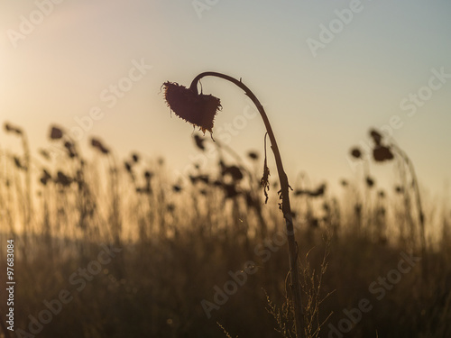 Valokuvatapetti Verwelkte Sonnenblumen im Sonnenuntergang