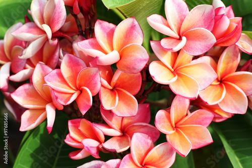 In de dag Frangipani colorful frangiapani flower