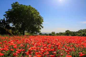 Fototapeta Wiejski Spring landscape: walnut tree in field of poppies. BASILICATA (ITALY).Rural scene of Palazzo San Gervaso (POTENZA).