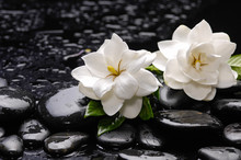 Still Life With Two Gardenia With Green Plant On Black Pebbles