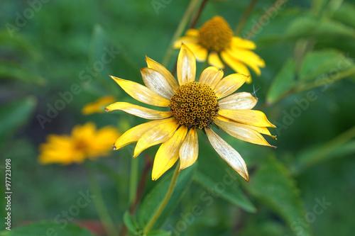 Fotografering  yellow daisies