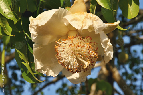 Flower baobab, Mozambique