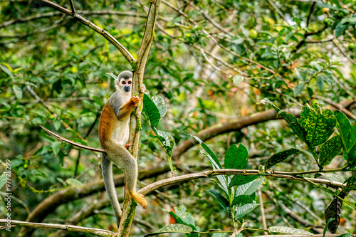 Foto op Canvas Aap Common Squirrel Monkey Playing