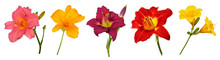 Five Different Daylily (Hemero...