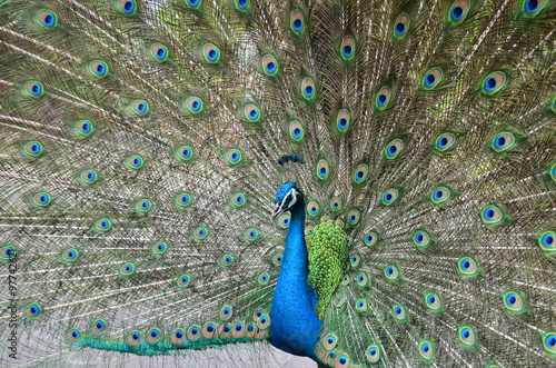 Foto op Plexiglas Pauw peacock or peafowl is spread tail feathers