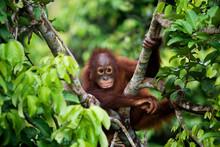 Orangutan In The Wild. Indones...