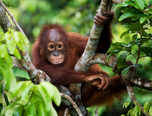 Poster de jardin Singe Orangutan in the wild. Indonesia. The island of Kalimantan (Borneo). An excellent illustration.