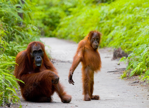 Foto op Aluminium Indonesië Female orangutan with a baby in the wild. Indonesia. The island of Kalimantan (Borneo).