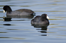 Pair Of American Coots Resting On The Still Water