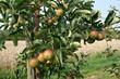 organic lifestyle apfelbaum äpfel bio ökologisch kultivieren hochstamm landwirtschaft