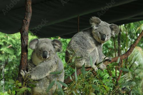 Keuken foto achterwand Koala Two koalas in a tree