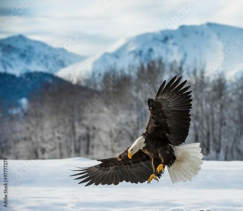 In de dag Eagle Bald Eagle ( Haliaeetus leucocephalus ) landed on snow
