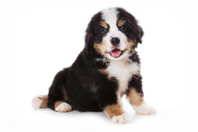 Bernese Mountain Dog Puppy Sit...