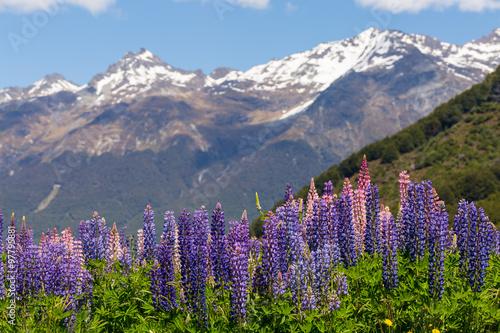 lubinowe-pole-z-fioletowymi-kwiatami-na-tle-wysokich-gor