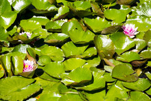 Flowering Lillypad In Pond